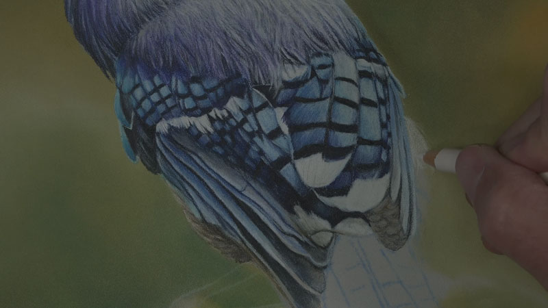 Blue Jay with Polychromos Colored Pencils Lesson 4